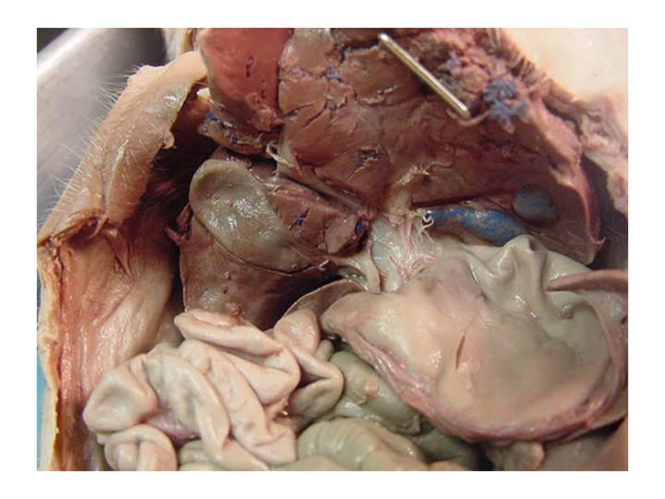 Fetal Pig Images