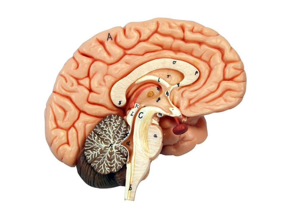 brain models Brain Computer Interface Diagram