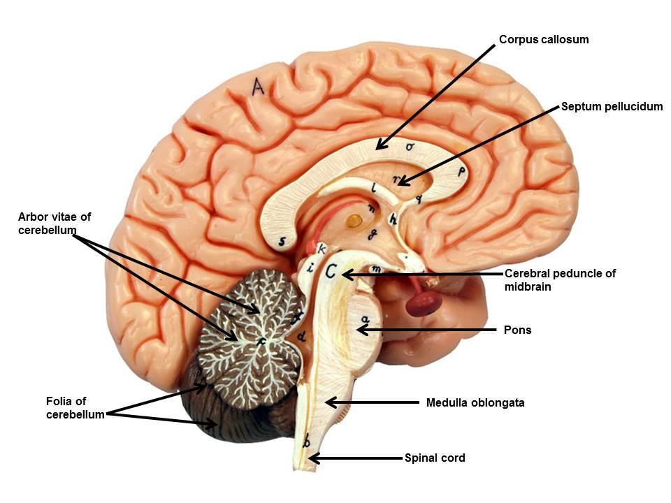 Brain ModelsNervous System Diagram Labeled Brain