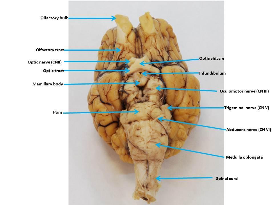 Sheep Brain Images