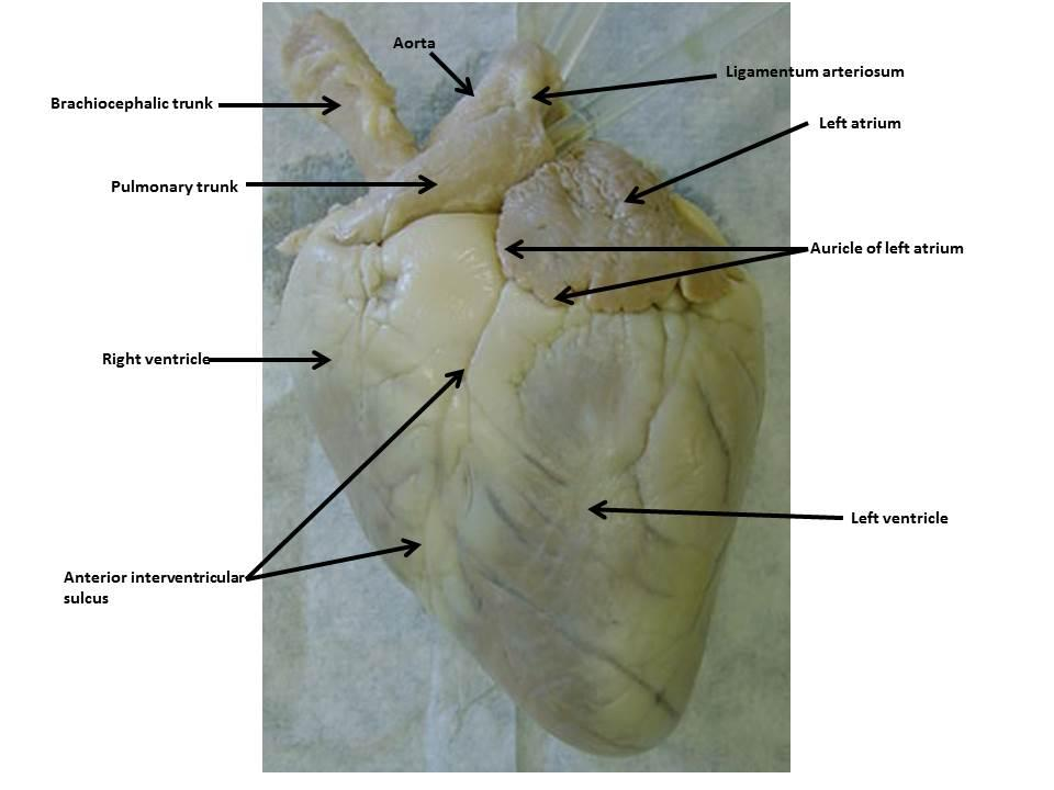 Sheep Heart Images